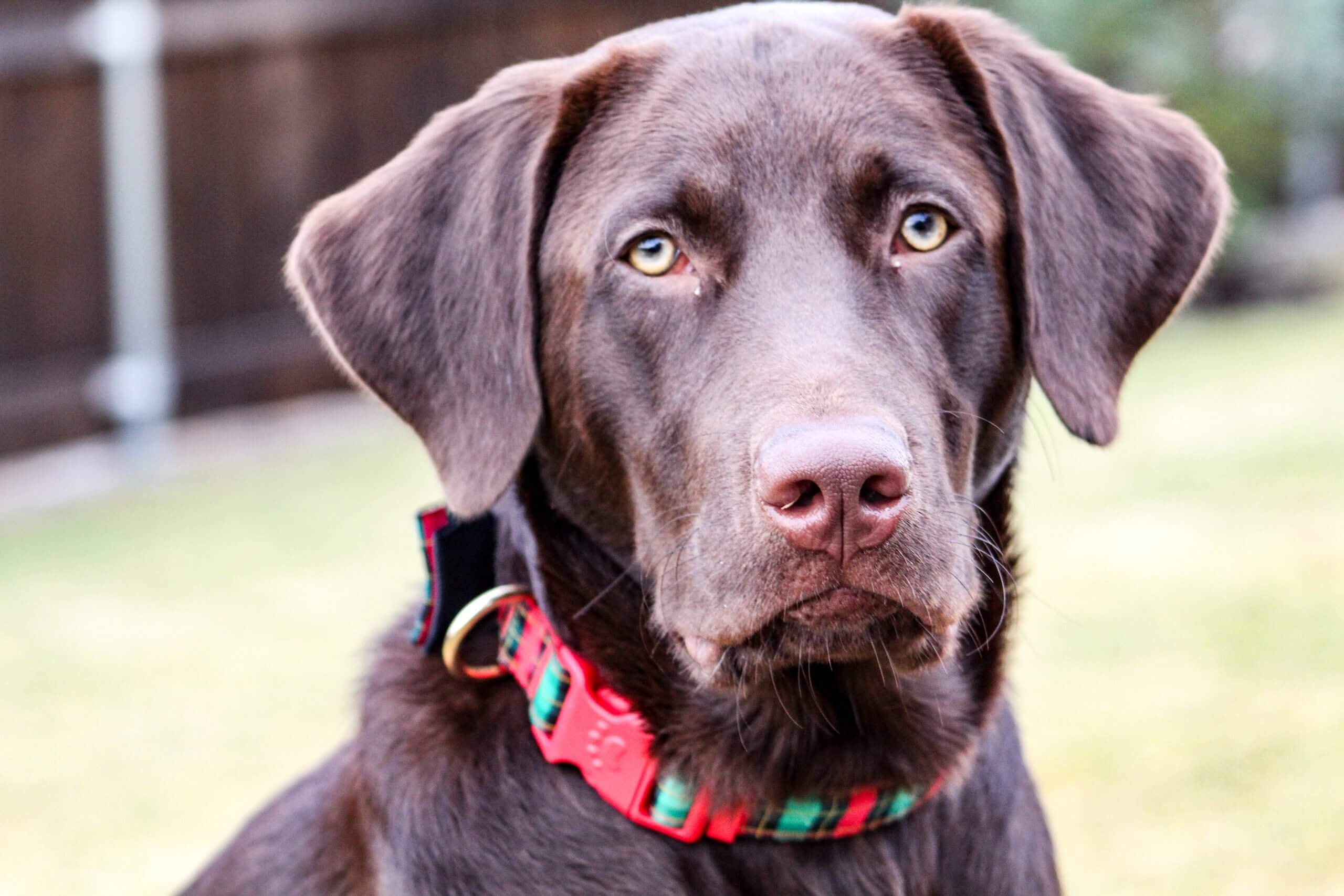"A dog with a holiday themed color on to match the long tail keyword ""best holiday-themed dog collars for large dogs""."
